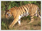 Tiger at Sanctuary